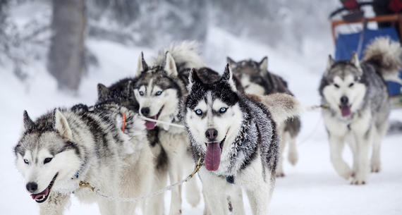 Vermont dog sled rides