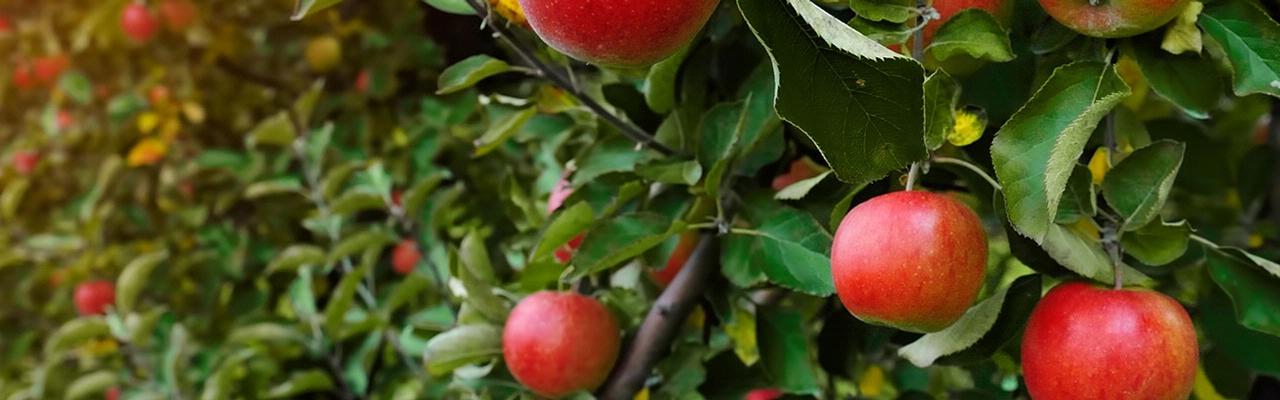 Chapin Apple Orchard