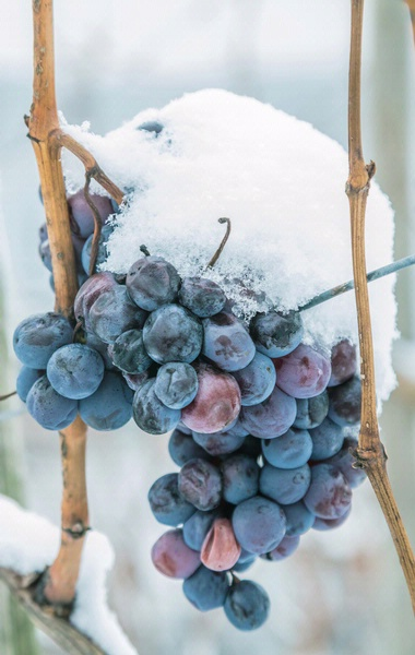 Ice wine grapes at Snow Farm Vineyard